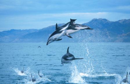 chc_dolphinswim_dolphins.jpg