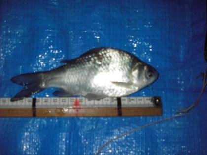 中川のスレ小ベラ18cm