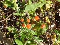 『クマイチゴ』 食べながら歩く