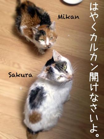 みかん&さくら2013.5.31