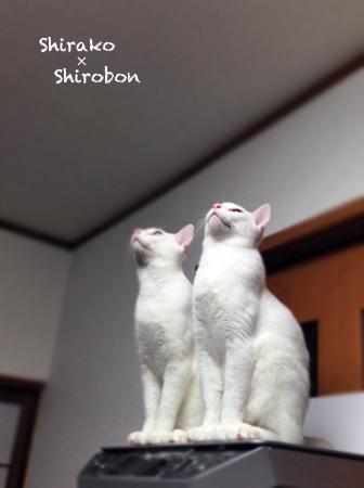 白子シロボン2013.6.18①
