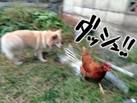犬とニワトリ②