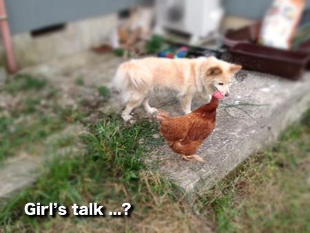 犬とニワトリ③