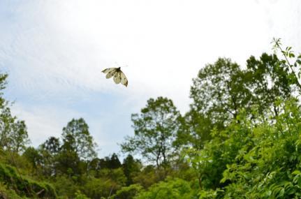 ツマキチョウ飛翔