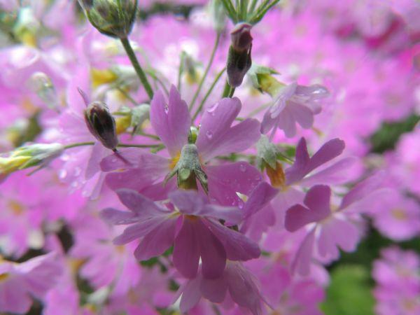 庭の花016