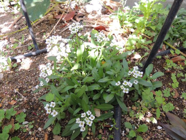 庭の花002