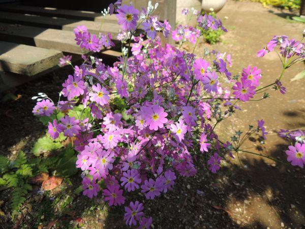 庭の花010