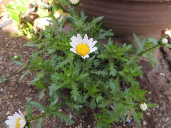 庭の花007