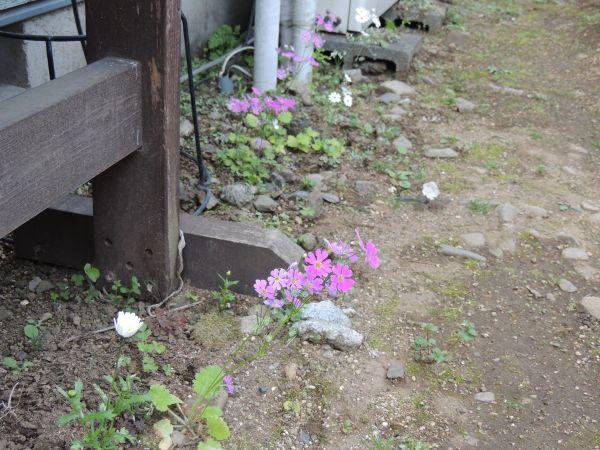 庭の花011