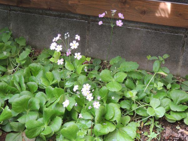 庭の花018
