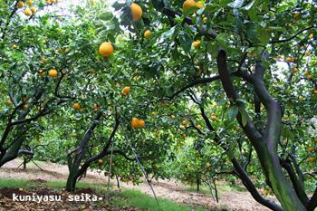 ナダオレンジ畑