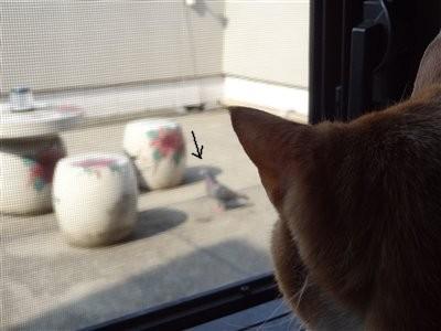 ハトを見張ってます!