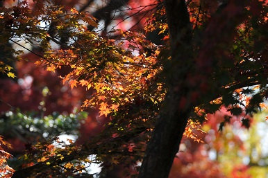 彦根城の紅葉 2