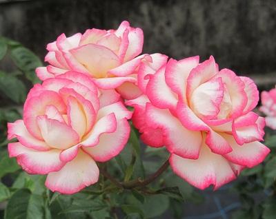 ピンク薔薇1306