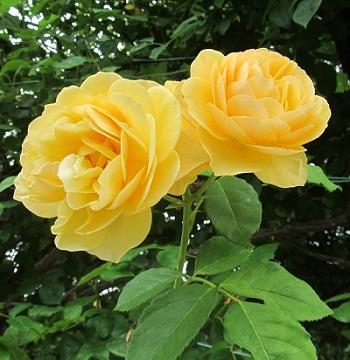 黄薔薇1306