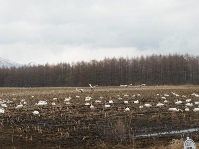 畑に集まったハクチョウの大群