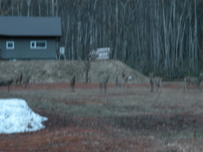 山から出てきたシカの群れ