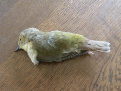 小鳥が衝突死