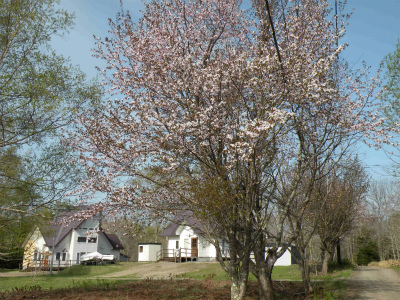 ようやく桜満開