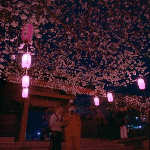 桜2013 称名寺夜桜