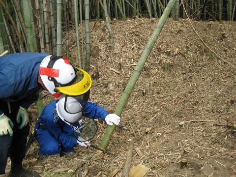 竹を切る吉井