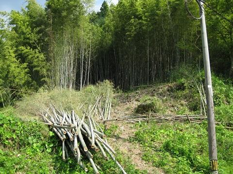 さっぱりした竹林