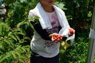 おまけのトマト摘み