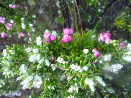 21かわいい高山植物