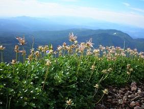 富良野岳チングルマ - コピー