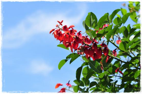 まいど赤い花