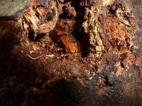 ウマノオバチ産卵