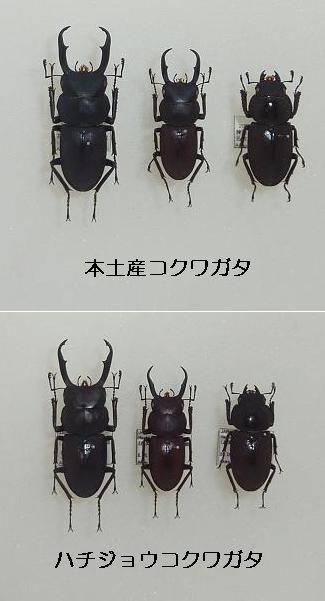 コクワガタ亜種比較