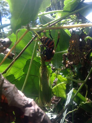 オオスズメバチの狩り01