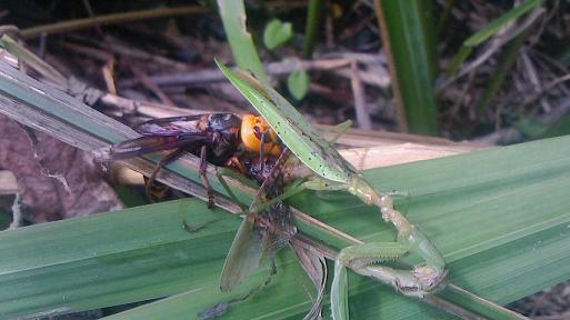 オオスズメバチの狩り02