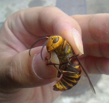 杉並オオスズメバチ♂