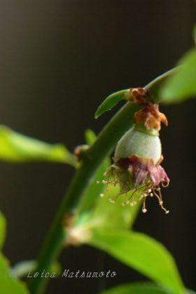 受粉が成功した盆栽の梅