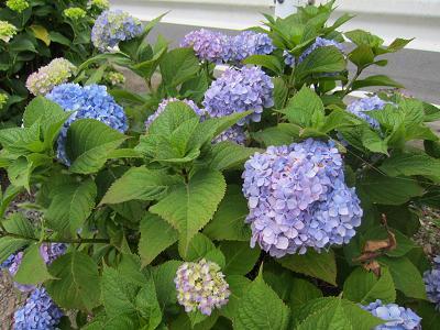 IMG_1018 ⑩ 咲き始めた紫陽花