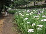 IMG_1050 ④ 満開の花菖蒲