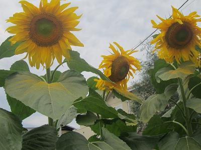 IMG_1232 ⑩ 大輪の向日葵