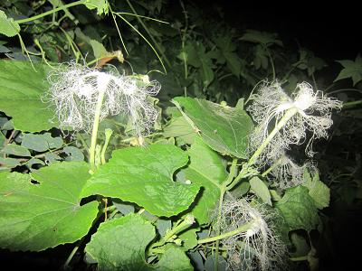 IMG_1394 ⑩ 艶やかな烏瓜花①