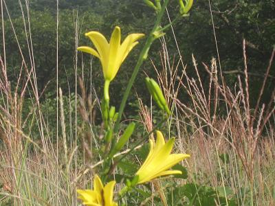 IMG_1461 ⑩ ゆうすげの花