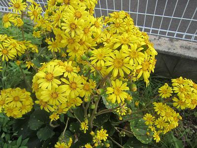 IMG_1827 ⑩ ツワブキの花