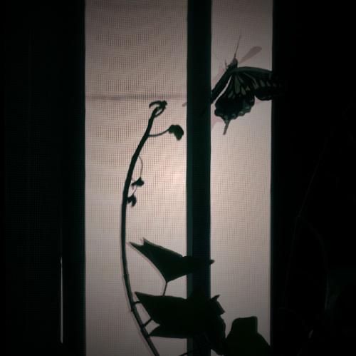 アゲハ蝶7
