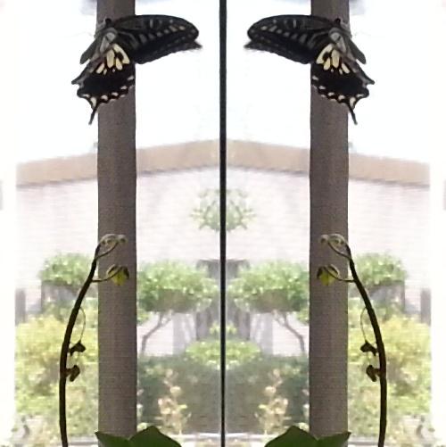 アゲハ蝶6
