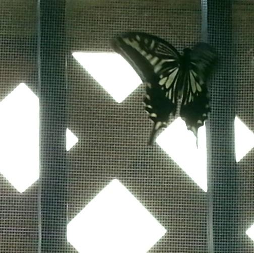 アゲハ蝶8