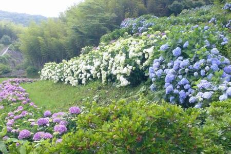 斜面の紫陽花