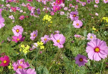 菜の花とコスモス