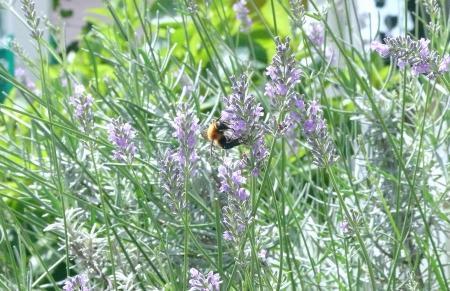 蜂とラベンダー1