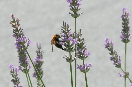 蜂とラベンダー2