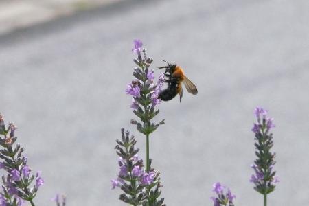 蜂とラベンダー3